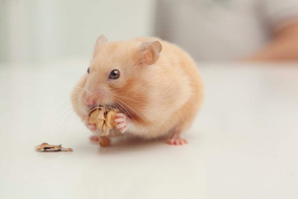 Hamster eating a nut