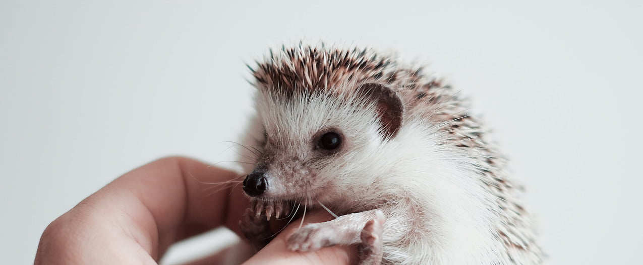 Hedgehog curled up in his owner's hand