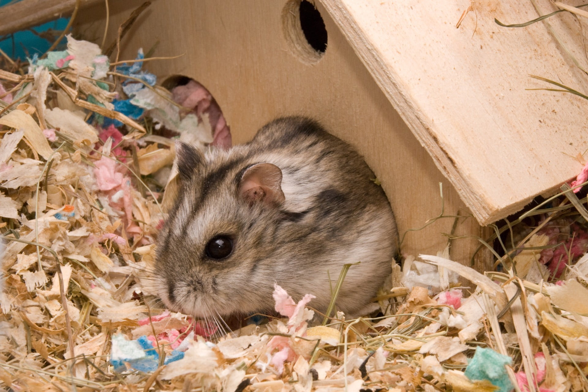 Hamster in cage inside tiny wooden home