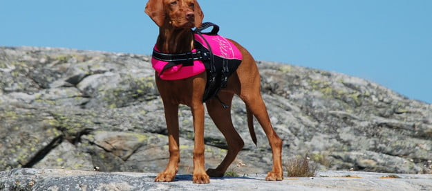 a hungarian viszla wearing a pink life jacket stands on a rock in front of a blue sky