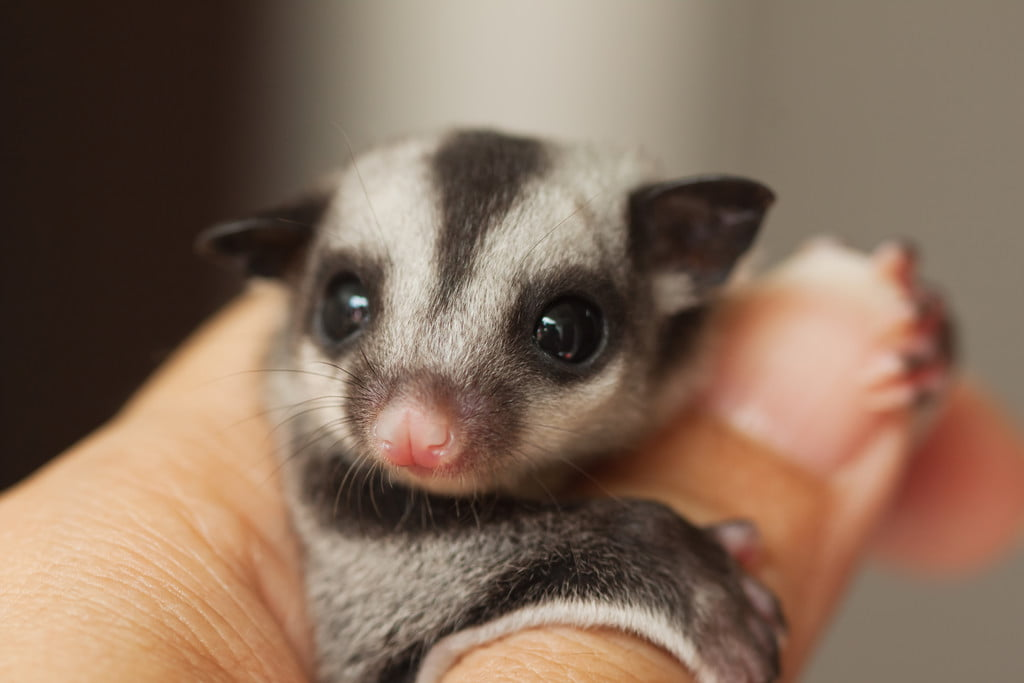 Here's What You Need To Know Before Getting A Sugar Glider