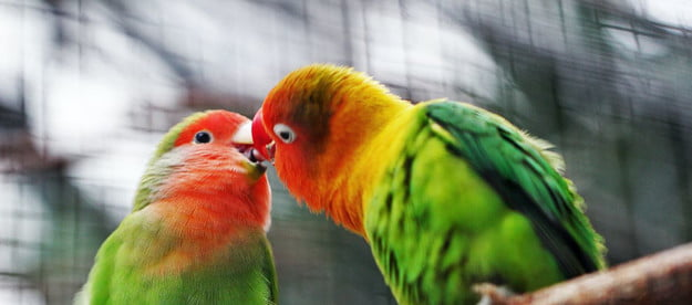 Two love birds on a perch