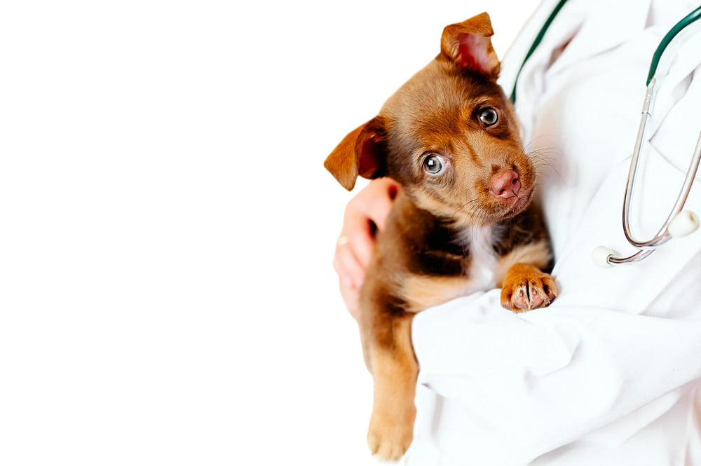 A veterinarian in a lab coat holding a brown puppy.
