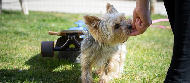 a yorkshire terrier eats a treat from a person's hand with a skateboard in the grass in the background