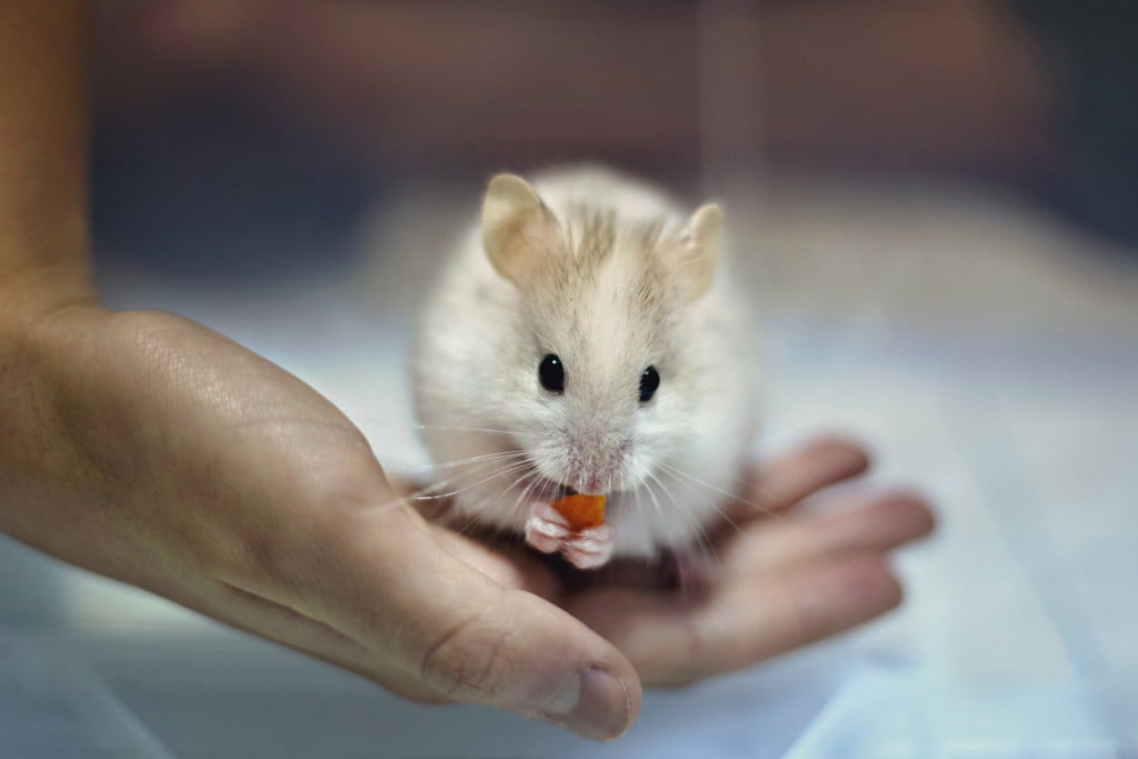 Person holding a hamster that's eating