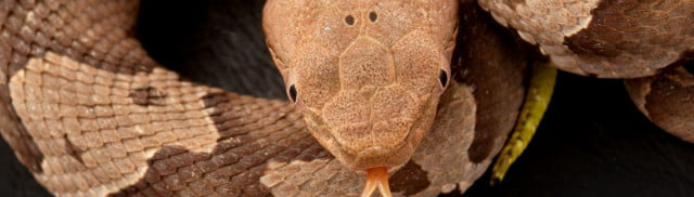 WallpaperFusion-southern-copperhead-1680x480